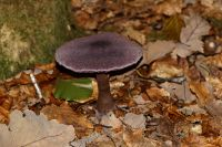 _Cortinarius_violaceus_IMG_1066_DxOarticle