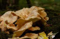 Laetiporus-sulphureus