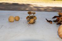 Xerocomus_parasiticus-sur-Scleroderma_citrinum
